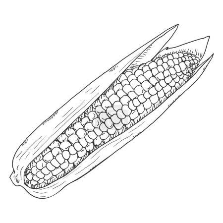 Photo pour Afficher Sketch Corn Cob avec des feuilles - image libre de droit