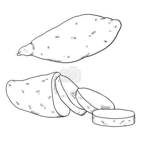 Photo pour Voir Sketch Sweet Popato Yam. Entier et tranché - image libre de droit