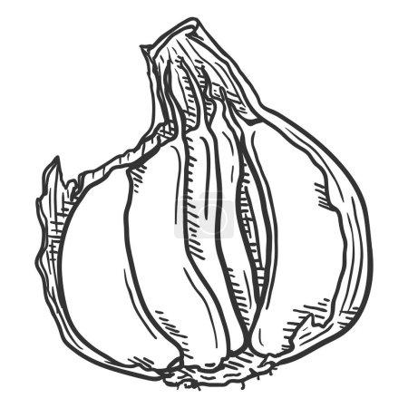 Photo pour Voir Sketch Gousses d'ail à Peel - image libre de droit