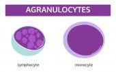 Agranulocytes white blood cells Medical concept set