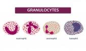 Granulocytes white blood cells Medical concept set