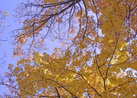 Photo pour Vue du bas des couronnes d'arbres dans le feuillage jaune vif d'automne - image libre de droit