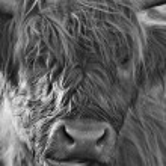 Scottish Highland Cows Living on Moorland...