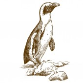 Vector antique engraving drawing illustration of Humboldt penguin isolated on white background