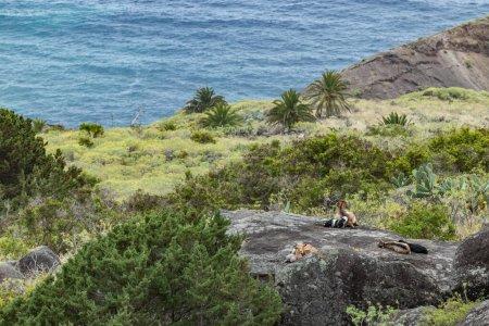 Un petit troupeau de chèvres est situé sur une pente abrupte sur l'énorme rocher entouré de végétation verte. Tourné avec un téléobjectif à distance de maladie. La Gomera, Îles Canaries, Espagne