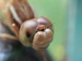 Macro closeup on dragonfly