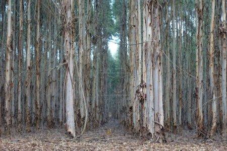 Photo for Tree plantation, eucalyptus, south africa - Royalty Free Image