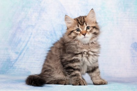 Siberian cats and kittens on beautiful neutral bac...