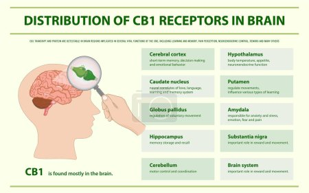 Illustration for Distribution of CB1 Receptors in Brain horizontal infographic illustration about cannabis as herbal alternative medicine and chemical therapy, healthcare and medical science vector. - Royalty Free Image
