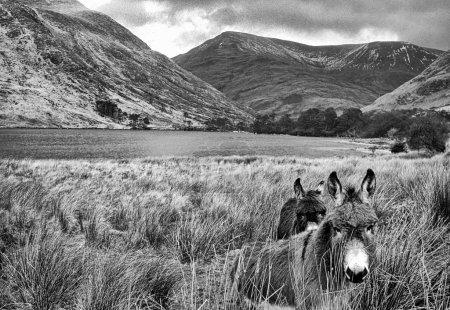 monochrome photo of donkeys, lake and Mweelrea Mountains, Co.Mayo, Ireland