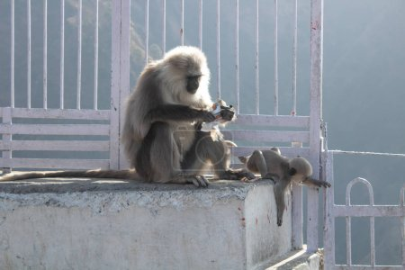 A mother monkey stealing cookies from tourist and her baby playi
