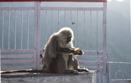 A baby monkey playing around with its mother eating biscuits fro