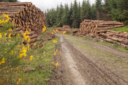 Photo pour Vue vers le bas chemin de terre de tas d'arbres fraîchement coupés rayés de branches et préparés pour la partie scierie de l'industrie forestière en Irlande sont empilés sur le côté d'une piste de saleté. - image libre de droit
