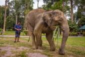 Indian elephant in the Kuala Gandah Elephant Conservation