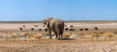 Elephant and many ostrichs and gazelles at a waterhole in Etosha, Namibia