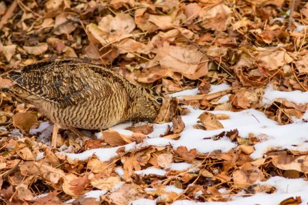 Camouflage bird woodcock. Brown dry leaves and sno...