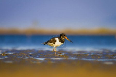 Water and bird Oystercatcher. Colorful nature back...