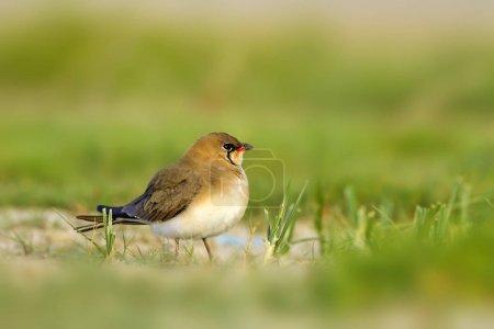 Cute bird Collared Pratincole. Green nature backgr...