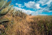 Landscape of wheat crops in the
