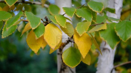 Photo for Yellow leaves on tree branches - Royalty Free Image