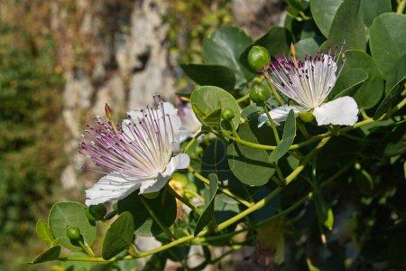 caper bush plant in bloom