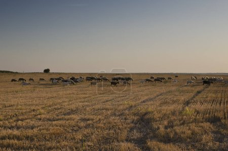 Photo for Herd of goats in the autumn golden field - Royalty Free Image