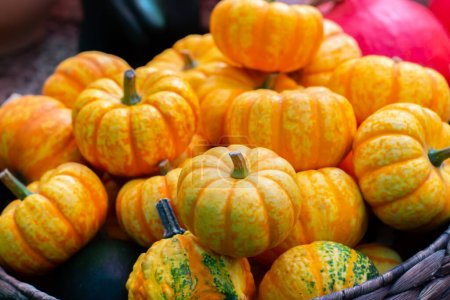Photo for Several yellow orange pumpkins close-up. Small striped pumpkin, autumn harvest festival - Royalty Free Image