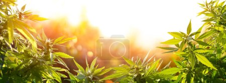 Photo for Cannabis With Flowers At Sunset - Sativa Herb - Legal Marijuana - Royalty Free Image