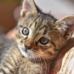 Portrait of a fluffy thoroughbred kitten...