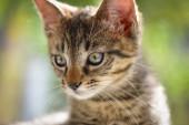 """Постер, картина, фотообои """"Портрет пушистого породистого котенка"""""""