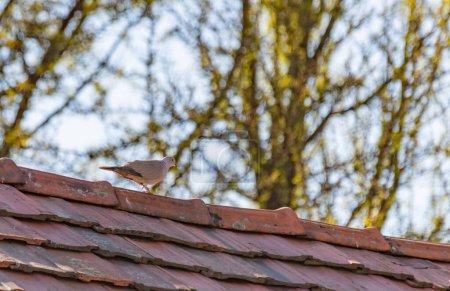 Photo pour Tourterelle sur un toit carrelé - image libre de droit