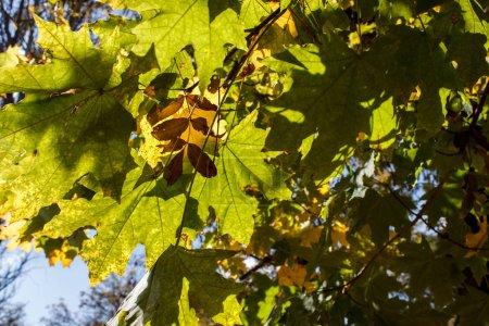 Photo pour Feuilles d'automne jaune multicolores, vert rouge brun sur les branches avec un ciel bleu vif. vue du ciel en bas - image libre de droit