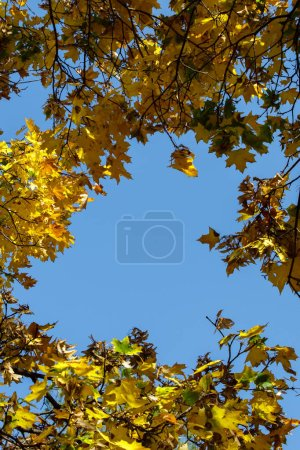 Photo pour Multi-colored yellow, green red, brown autumn leaves on branches against a bright blue sky. bottom view to the sky - image libre de droit