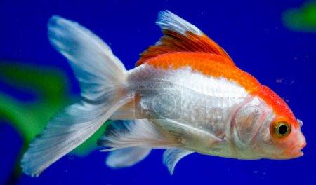 Photo for Goldfish in aquarium - carassius auratus - Royalty Free Image