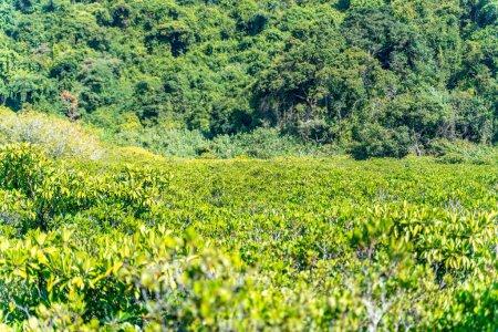Photo pour Mangroves le long de l'eau salée verte turquoise - image libre de droit