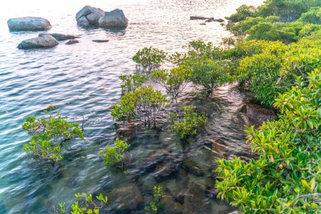 Photo for Mangrove trees along the turquoise green salty water - Royalty Free Image