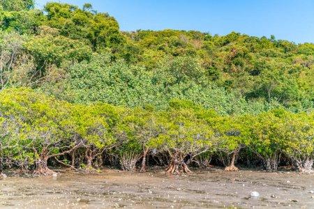 Foto de Árboles de manglares a lo largo del agua salada verde turquesa. - Imagen libre de derechos