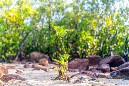 Foto de Árbol joven de manglares a lo largo del agua salada verde turquesa. - Imagen libre de derechos