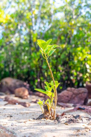 Photo for Mangrove young sprout tree along the turquoise green salty water - Royalty Free Image