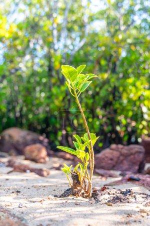 Photo pour Mangrove jeune pousses le long de l'eau salée verte turquoise - image libre de droit