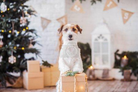 Photo pour Jack Russell terrier à l'intérieur décoré de Noël, concept vacances - image libre de droit