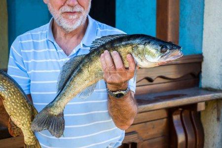 Photo pour Sandre Stizostedion Lucioperca Zander, un homme âgé, tient dans la main un poisson capturé - image libre de droit