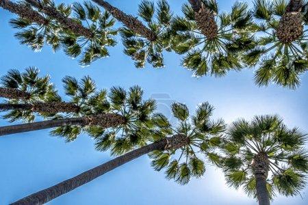 Photo pour Palmiers contre ciel bleu vif en Californie, États-Unis - image libre de droit