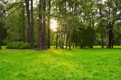 Sunlight breaks through the tall trunks of trees.