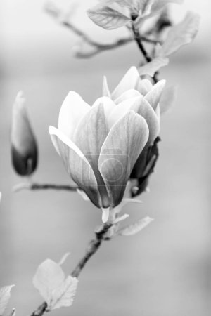Photo for Luck, health, life force concept. Blossom of purple magnolia on tree branch. Magnolia flowers blossoming on white background. Spring nature, beauty, environment. - Royalty Free Image