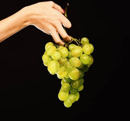Photo pour Grappe de raisin blanc ou vert en doigts de filles. Main femme tient grappe de raisin isolée sur fond noir. Idée de récolte vinery automne. Concept de la vinification et l'élevage - image libre de droit