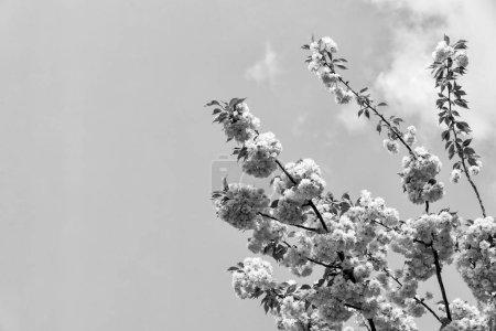 Foto de Renovación, renacimiento, nuevo despertar de la vida. Sakura árbol en flor en el cielo azul. Flores de cerezo floreciendo en primavera. Sakura concepto de temporada de floración. Naturaleza, belleza, medio ambiente, espacio de copia - Imagen libre de derechos