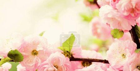 Foto de Árbol floreciente sakura., fondo floral natural. hermosas flores de primavera. flor de cerezo rosa. nueva vida que comienza. crecimiento de la naturaleza y despertar. Día de las mujeres. vacaciones del día de las madres. Olor imposible . - Imagen libre de derechos