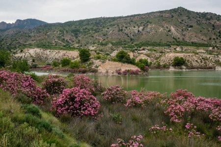 Oleanders in bloom in the Embalse del Mayes in Mur...