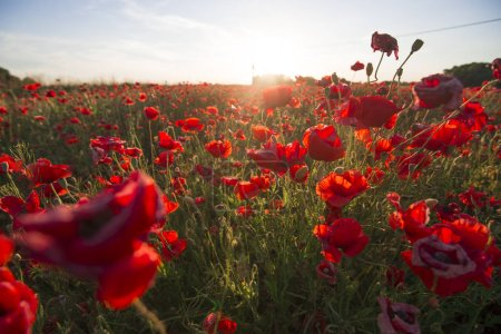 Photo pour Soirée d'été ensoleillée sur le champ de coquelicots fleurissant, Lettonie - image libre de droit
